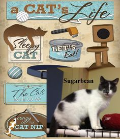 10/2016 Waiting a year!***************Meet+Sugarbean,+a+Petfinder+adoptable+Domestic+Short+Hair+-+gray+and+white+Cat+ +Urbana,+OH+ +Pretty+Sugarbean+is+waiting+for+a+good+forever+home.+She+is+a+quiet+girl+who+would+love+to+be+your...