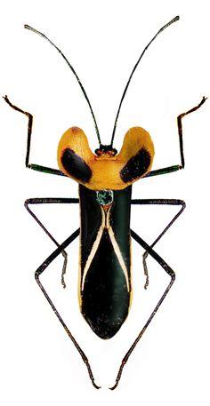 Sundarus vulneratus