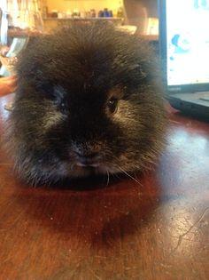 beatle  the swiss guinea pig