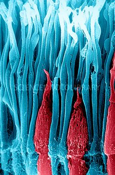 Coloured scanning electron micrograph (SEM) of rods (blue) and cones (red), the light sensitive cells in a human retina. Rods aid vision in dim light, while cones allow colour vision | Ralph C. Eagle, Jr. | SCIENCE PHOTO LIBRARY