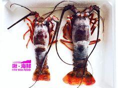 不得了的超級大驚喜出現啦 可生食的澎湖野生極鮮龍蝦登場 #啾海鮮#澎湖#海鮮#蝦 #極鮮澎湖野生龍蝦 #chuseafood#penghu#seafood#lobster