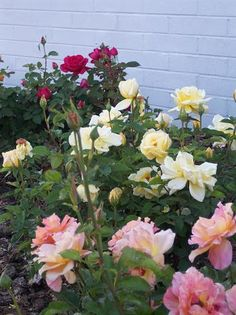 How to Grafted Roses |