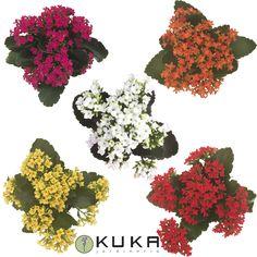 Mirad que bonitos están los Kalanchoe, están llenos de florecitas llenas de colores. Clic: http://jardineriakuka.com/vivaces/3660-kalanchoe.html  #kalanchoe #cactus #plantagrasa #cactusconflores