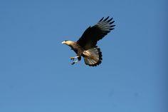 Carcará (Polyborus plancus) voando - Caracara, Crested, Audubon Flying 167 - 10 | por Flávio Cruvinel Brandão