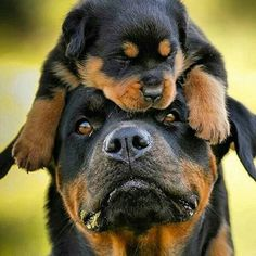 #tbt Check the link in @therottweilerworld profile and choose your Rottweiler or…