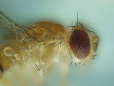 Un modelo de insecto permitirá entender mejor el alzheimer