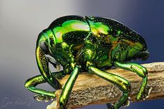 "psychedelicinsects: "" Metallic Green Weevil Eurhinus magnificus Gyllenha This…"