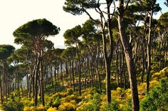 LEBANON, PINE FOREST OF THE METN