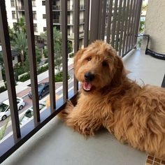 17 Things All Doodle Parents Know To Be True is part of Labradoodle - It's the hall of fame for Doodle pup thangs Goldendoodle Haircuts, Mini Goldendoodle, Goldendoodles, Labradoodles, Cavapoo, Goldendoodle Names, Goldendoodle Grooming, Dog Grooming, Cute Puppies