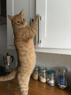 Uh oh! This orange tabby knows how to open your cabinets. Mayhem may follow.