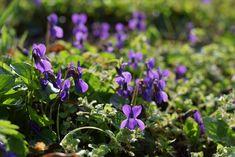 S niektorými ranými bylinkami sa treba poponáhľať. Odkvitnú a najbližšie budú k dispozícii až na budúci rok. Plants, Plant, Planets