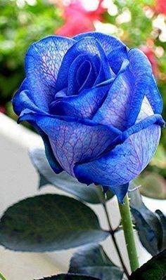 Rose Bud.  Blue With Purple Vains