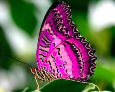 Beautiful Butterflies are one of a lot of varied as well as attractive insects worldwide. Butterfly Photos, Butterfly Kisses, Purple Butterfly, Butterfly Flowers, Butterfly Wings, Pink Purple, Butterfly Painting, Butterfly Wallpaper, Nature Wallpaper
