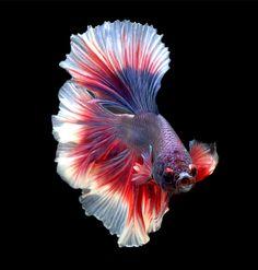 Halfmoon Betta fish saying hello Betta Fish Types, Betta Fish Tank, Beta Fish, Colorful Fish, Tropical Fish, Beautiful Creatures, Animals Beautiful, Carpe Koi, Watercolor Fish
