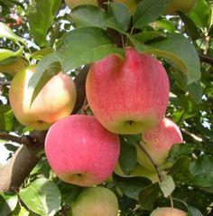 Jablko - Plod jablone
