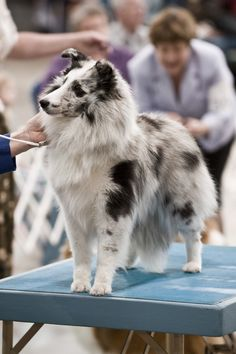 Find Out More On Fun Shetland Sheepdog Puppy Grooming I Love Dogs, Cute Dogs, Sheepdog Tattoo, Dog Dna Test, Sheep Dog Puppy, Shetland Sheepdog Puppies, Puppy Grooming, Herding Dogs, Dog Show