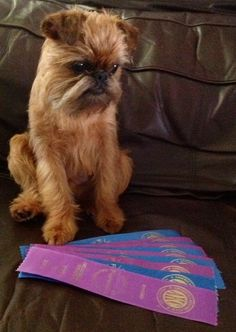 Mesmerizing Training Your Dog Proven, Useful Hints And Tips Ideas. Remarkable Training Your Dog Proven, Useful Hints And Tips Ideas. Animals And Pets, Cute Animals, Unusual Animals, Griffon Bruxellois, Griffon Dog, Brussels Griffon, Aggressive Dog, Old Dogs, Cool Pets