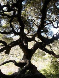 California Live Oak - Many found along   The American River and Fair Oaks