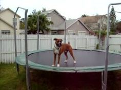 Boxer dog plays on the trampoline.