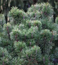 Mugo Pine - zone 3-7-A landscaper's dream, there are hundreds of mugo pine varieties. Most offer rich, deep green needles that stay looking great all year and a compact mounded habit.