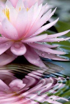 2/24 水の上で大きく花開く蓮の花。