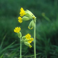 The Cowslip is an extremely well known and popular wild flower whose numbers declined dramatically between the 1950s and the 1980s.