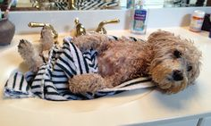 Wet dog #schnoodle #meetotis