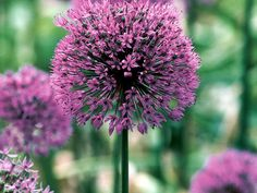 Allium giganteum, or Ornamental onion, bears large rounded flower heads in summer that can reach up to 4 inches across. They produce a multitude of star shaped lilac pink flowers that attract butterflies. Grow in sun and well drained soil.