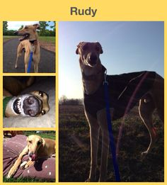 Rudy - retired racing greyhound (racing name Kelso's Red Ruler)