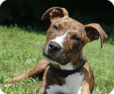 Westampton, NJ - American Staffordshire Terrier Mix. Meet Herman A33037140, a…