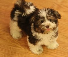 cute havanese puppies - Google Search