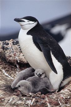 Chinstrap Penguin Facts - Animal Planet