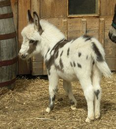 I want to get a donkey when I retire.....and now I want it to be a miniature donkey.