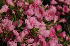 "azalea rosebud   Rosebud Azalea (Rhododendron ""Rosebud"") in Columbus Dublin Delaware ..."