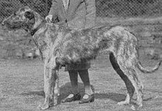 The wolfhound Primrose of Harewood was owned by H.R.H. Princess Mary, Countess of Harewood