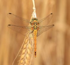 Europe's 10 Most Swift and Vibrant Dragonflies ~ Common Darter