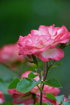 Pink Fringed Roses