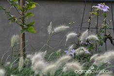 Lawendowy zawrót głowy - strona 770 - Forum ogrodnicze - Ogrodowisko Aquarium, Plants, Goldfish Bowl, Fish Tank, Planters, Aquarius, Plant, Planting