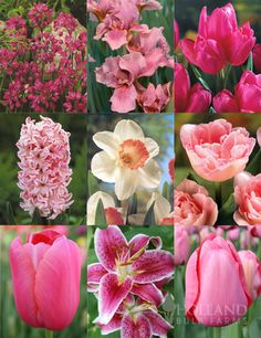 Tickled Pink Collection with 118 bulbs Bunch Of Flowers, Fall Flowers, Pretty Flowers, Wedding Flowers, Spring Bulbs, Spring Blooms, Pink Perennials, Oriental Lily, Fall Plants