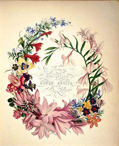 Cape Flowers - The Flora of South Africa (1849)   por Swallowtail Garden Seeds