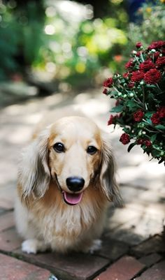 Blonde Dachshund Longhaired Doxie Puppy Dog