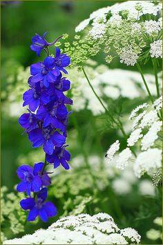 Purple Delphinium and white Ammi majus (Queen Anne's Lace).