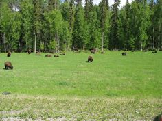 Buffalo herd that was totally indifferent to my presence. Grazing away and taking it easy.