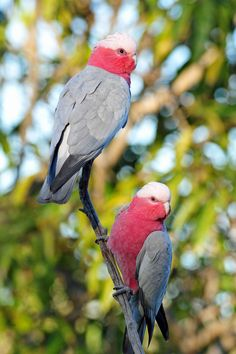 The Galah, (Eolophus roseicapilla), is a distinctive species of cockatoo.  It can be found in every state and territory and it well known for it's bold and boisterous behaviour.