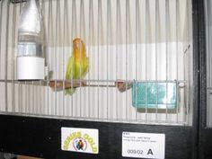 BVA 2014 Show - Copyright Didier Mervilde Roseicollis - Pale Fallow Orangefaced D Green Pale Face, Bird Poster, Nature Wallpaper, Exotic Pets, Arabic Sweets, Puerto Rico, Green, Birds, Couple