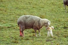 Wilkommen auf der Erde!♥ Lamb, Animals, Earth, Animales, Animaux, Baby Lamb, Animal, Baby Sheep, Animais