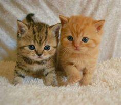 Cute Little Kittens, Cute Baby Cats, Cute Little Animals, Cute Kittens, Beautiful Kittens, Pretty Cats, Baby Animals Pictures, Funny Animals, Cutest Kittens Ever