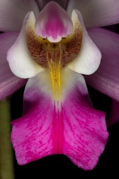 Orchid: Laelia autumnalis - Species from Mexico