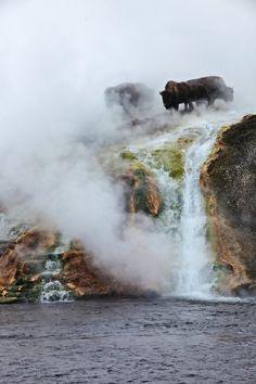 buffalo over geyser, Yellowstone