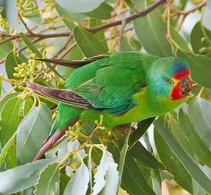 Birds of the World: Swift parrot